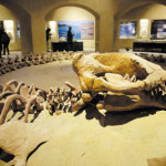 The largest intact Basulosaurus isis whale fossil, which is on display at the Wati El Hitan Fossils and Climate Change Museum, on the opening day, in the Fayoum oasis, Egypt, Thursday, Jan. 14, 2016. Egypt has cut the ribbon on the Middle East's first fossil museum housing the worldand#039;s largest intact skeleton of a andquot;walking whaleandquot; in an attempt to attract much-needed tourists driven off by recent militant attacks. (AP Photo/Thomas Hartwell)