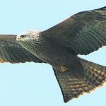 black-kite-1000x373