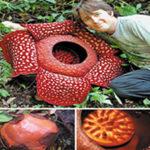 World's Largest Flowers – The Rafflesia arnoldii